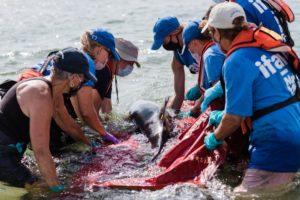 volunteers saving a dolphin